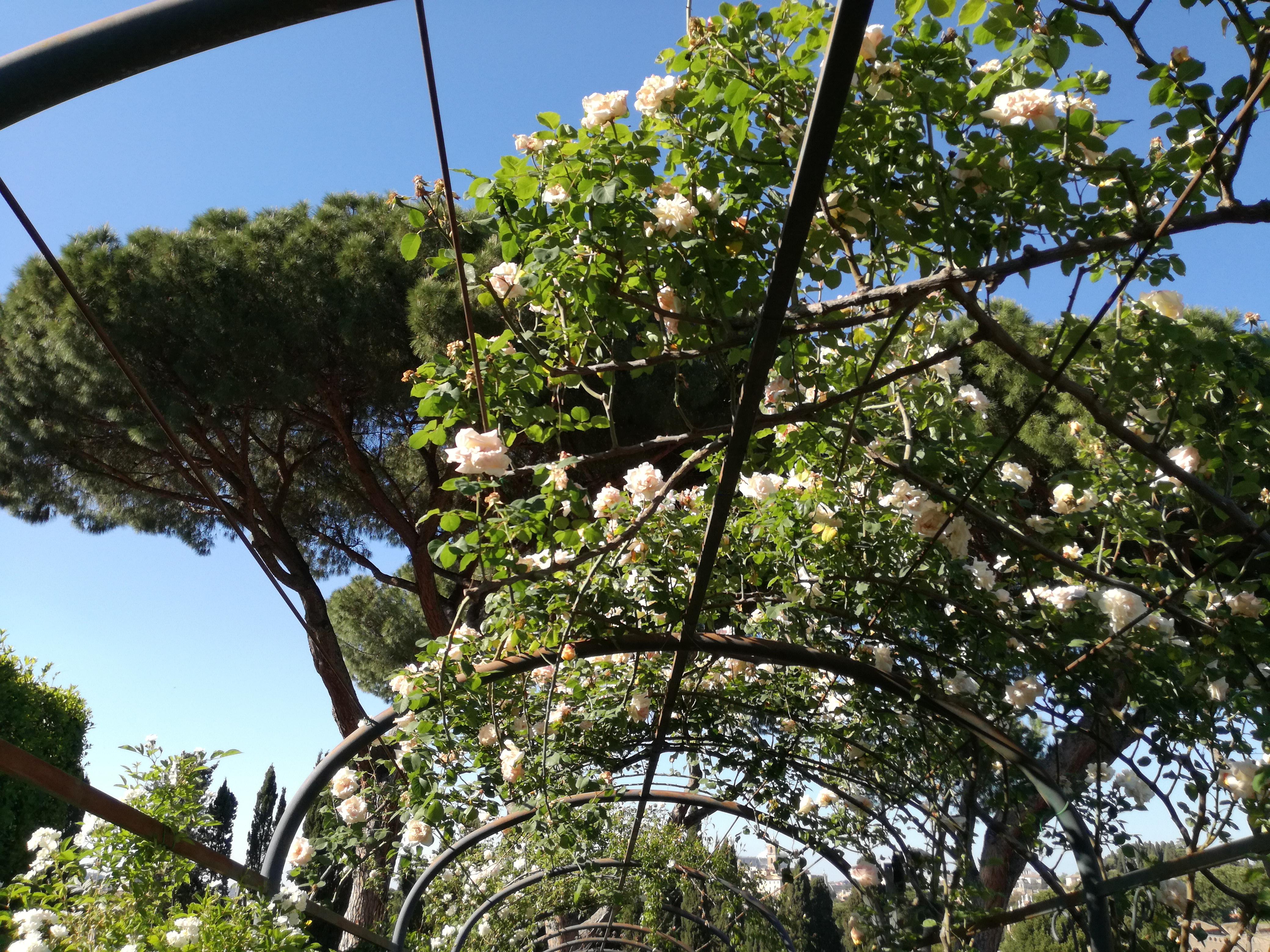Il roseto sull'Aventino: 1200 esemplari da tutto il mondo